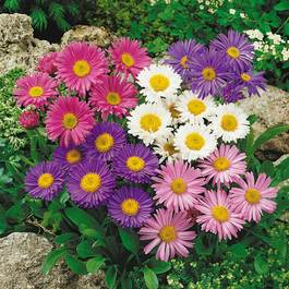 Aster Alpinus Mixed (7cm Module Plants)