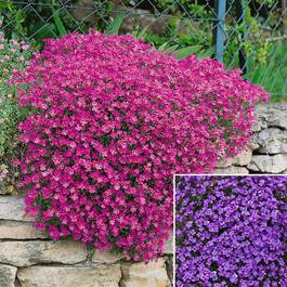 Aubrieta Cascade Collection (7cm Module Plants)