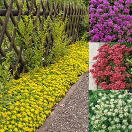 Ground Cover Sedum Mixed (7cm Modules)