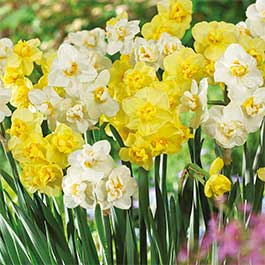 Daffodil Cheerfulness Collection