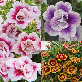 Calibrachoa Double Bicolour Collection