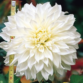 Dahlia Dinner Plate White Perfection