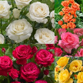 Super Scented Rose Collection