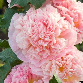 Alcea Rosea Chaters Rose