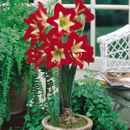 Amaryllis Naughty Girl 34cm+
