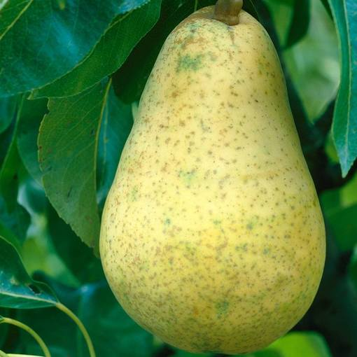 Pear Williams Bon Chretien