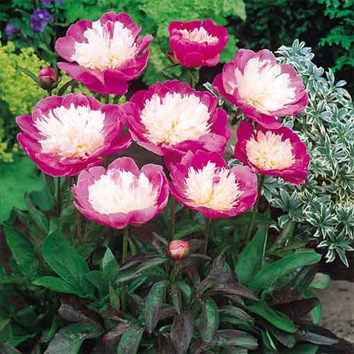Peony Bowl of Beauty