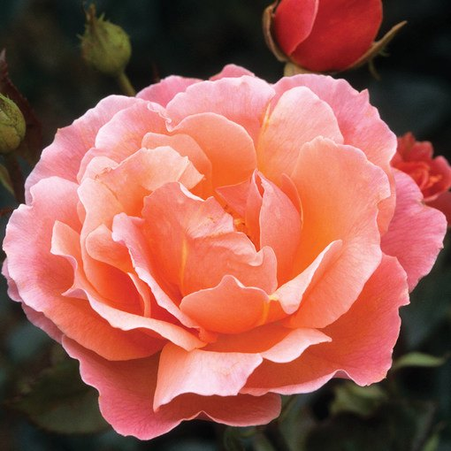 Rose Fragrant Delight