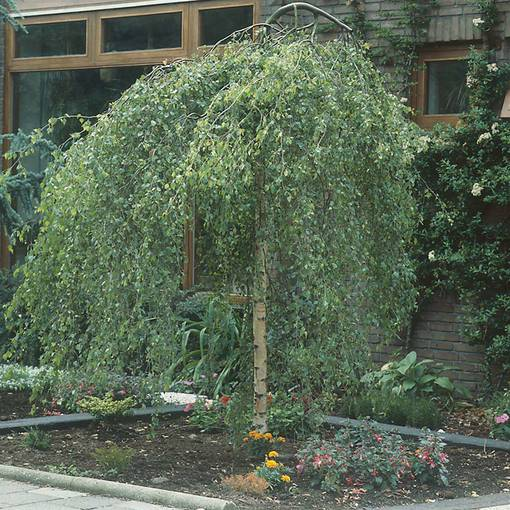 Betula pendula Youngii (Weeping Birch)