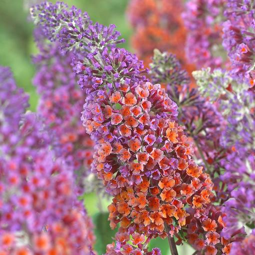 Buddleia Flower Power