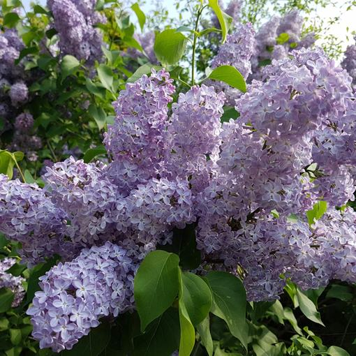 Syringa Lilac Katherine Havemeyer