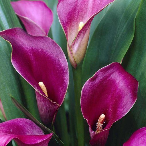 Zantedeschia Purple Sensation (Calla Lily)