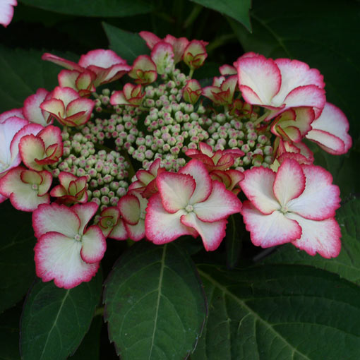 Hydrangea hovaria Love You Kiss