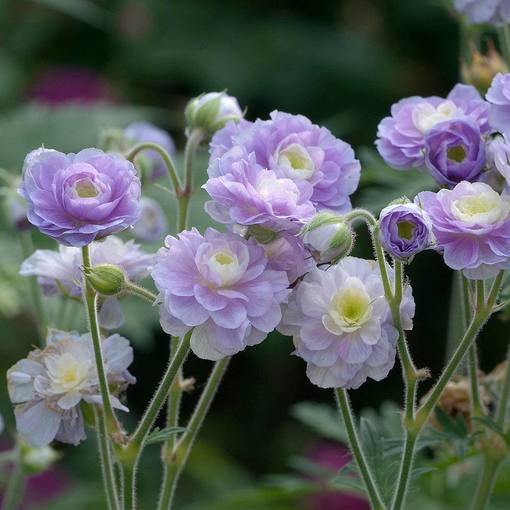 Geranium Summer Skies (Loose roots)