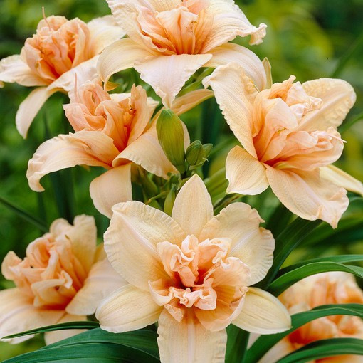 Hemerocallis Double Dream