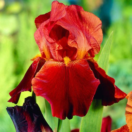 Iris germanica 'Sultan's Palace'