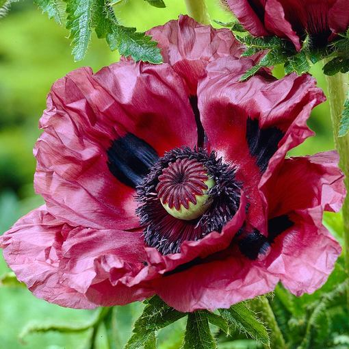Papaver orientale Patty's Plum