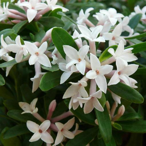 Daphne transatlantica Eternal Fragrance (10.5cm Pot)