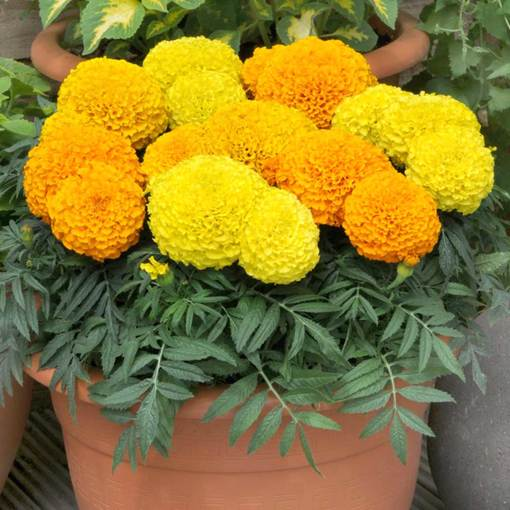 Marigold Taishan Mixed (Maxi Plugs)