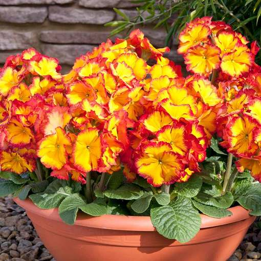 Polyanthus Fire Dragon (Maxi Plugs)