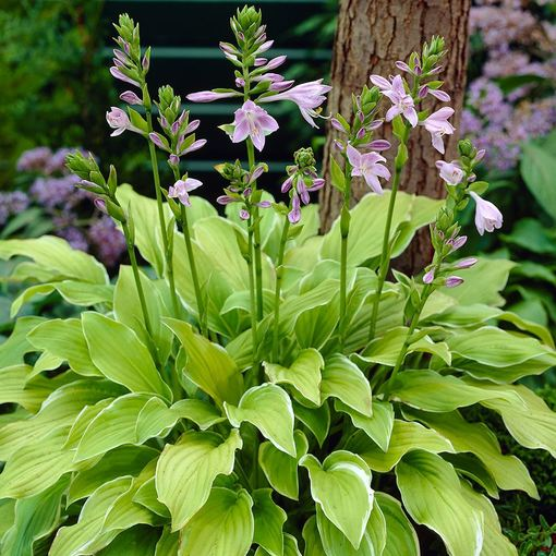 Hosta Summer Fragrance