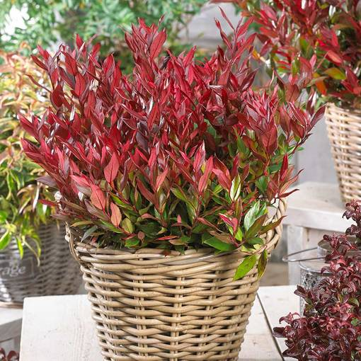 Leucothoe axillaris 'Little Flames'