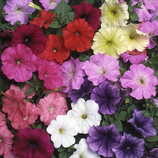 Petunia Select Mixed (Garden Ready)