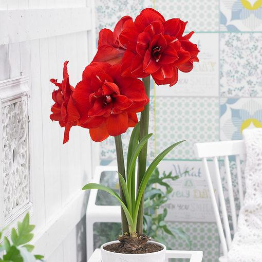 Amaryllis Double King 26cm+