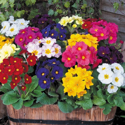 Polyanthus Crescendo Rainbow Mix (Garden Ready)