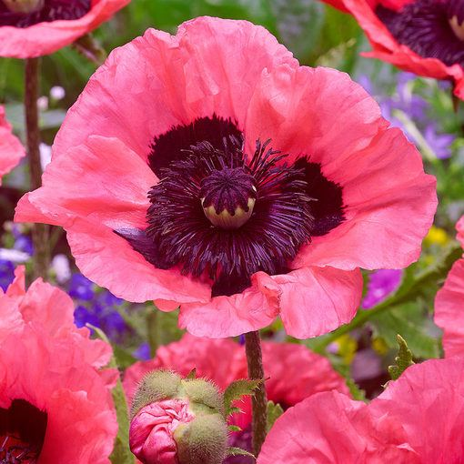 Papaver Raspberry Queen