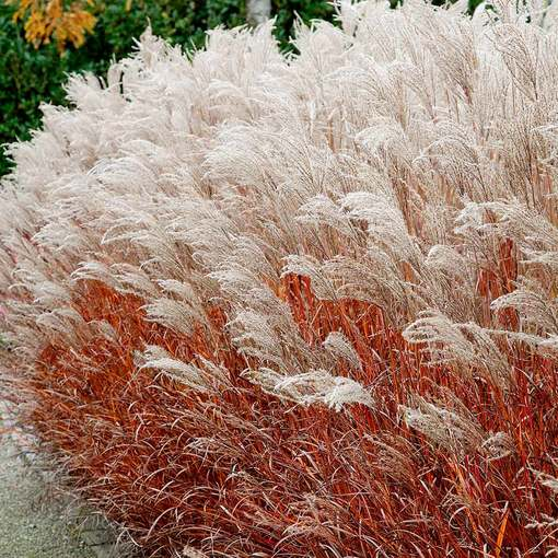 Miscanthus Indian Summer