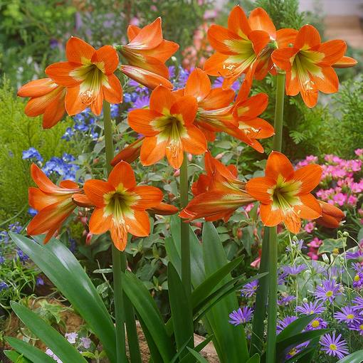 Amaryllis Sonatini Orange Rascal (Outdoor)