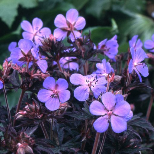 Geranium Black Beauty