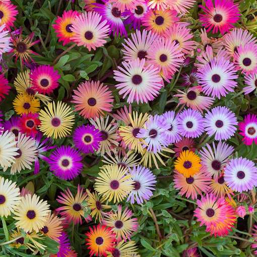 Livingstone Daisy Mixed (Garden Ready)