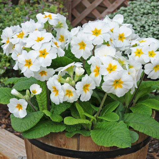 Polyanthus Snow White (Maxi Plugs)