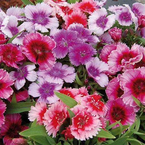 Dianthus Corona Magic Mix (Maxi Plugs)