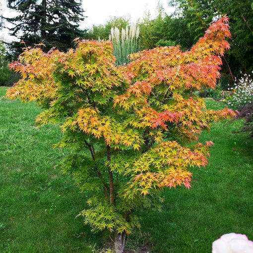 Acer palmatum 'Orange Dream' (3 litre pot)