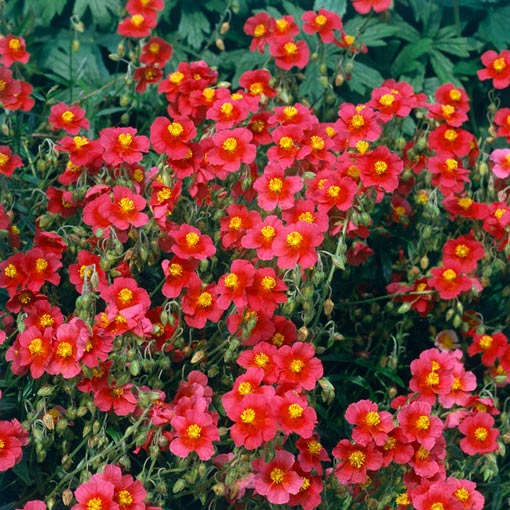 Helianthemum (Sun Rose)