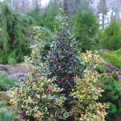 Holly Ornamental Ilex Collection
