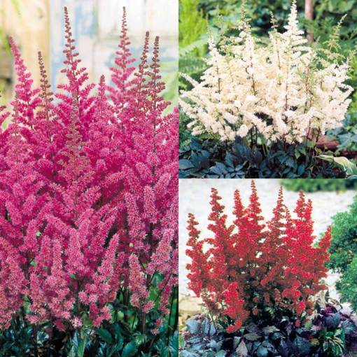 Astilbe Dark Leaf Collection