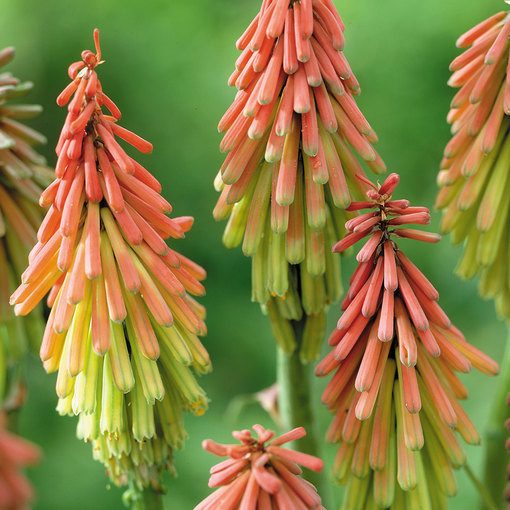 Kniphofia Traffic Light