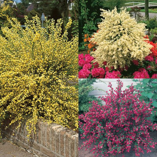 Cytisus Collection