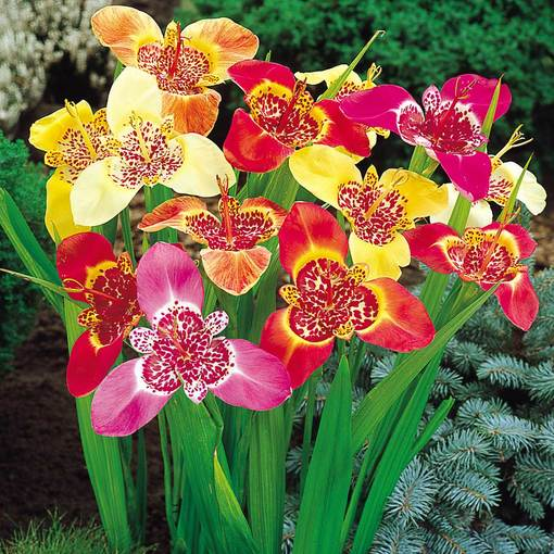 Tigridia Mixed (Peacock Tiger Flowers)