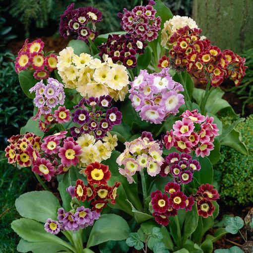 Primula Auricula Mixed (5cm Modules)