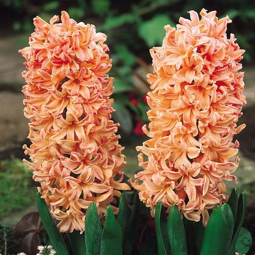 Hyacinth Gypsy Queen 14-15cm
