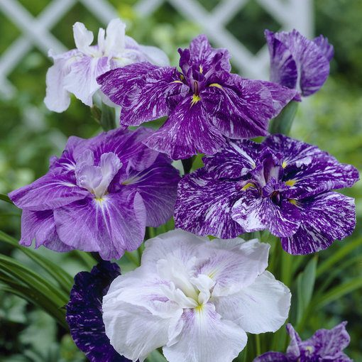 Iris Ensata Mixed