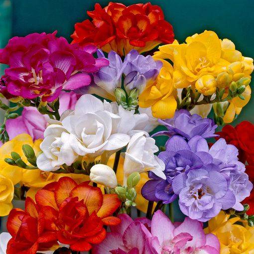 Double Freesias Mixed (Exhibition Size)