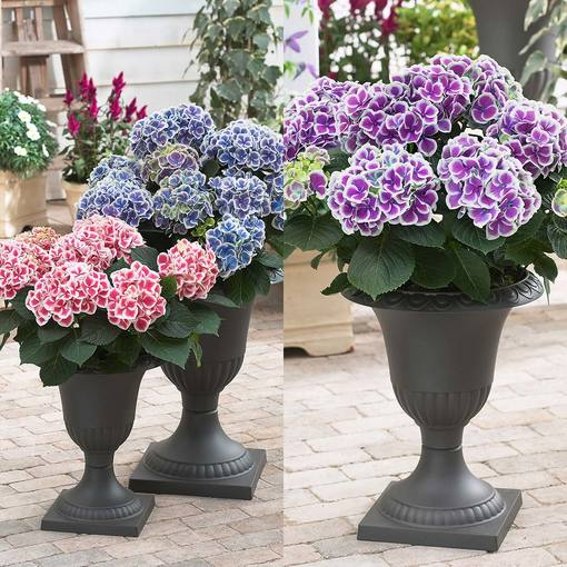 Hydrangea Bi-Coloured Collection