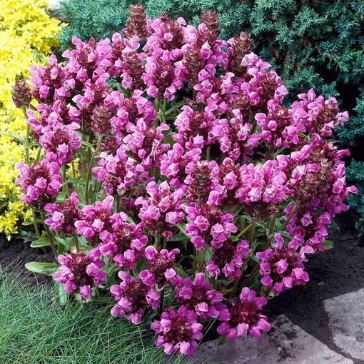 Prunella Grandiflora Rubra