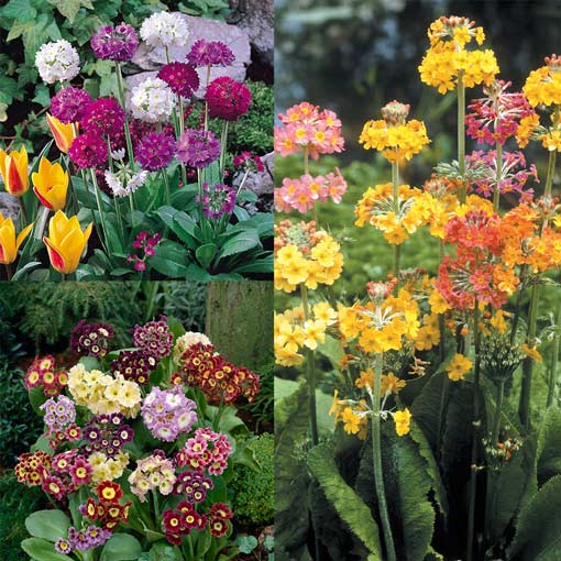 Primula - Hardy Collection